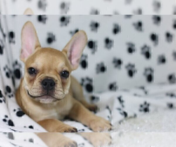 Full screen Photo #1 French Bulldog Puppy For Sale in HAVERHILL, FL, USA