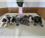 Mini Schnauzer Puppys