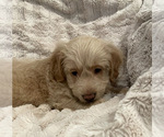Small #9 Goldendoodle
