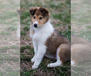 Collie Puppy for sale in EVEREST, KS, USA