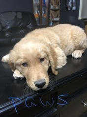 Golden Retriever Puppy For Sale in BENTON, AR, USA