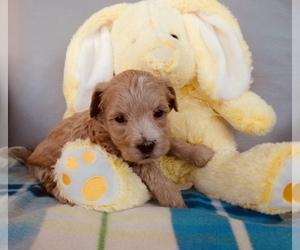 Maltipoo Puppy for sale in ROCKFORD, MI, USA