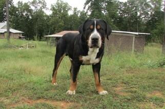 Family raised AKC Greater Swiss Mountain Dog
