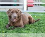 Small Photo #4 Labrador Retriever Puppy For Sale in FREDERICKSBG, OH, USA