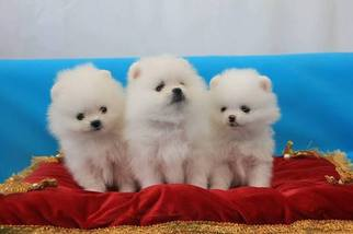Pomeranian Puppy for sale in ORLANDO, FL, USA