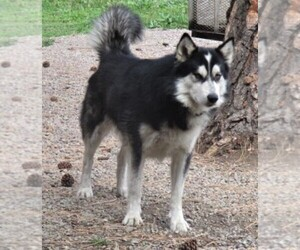 Alaskan Malamute Puppy for Sale in SAINT IGNATIUS, Montana USA