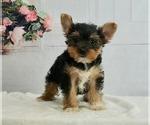 Puppy 9 Yorkshire Terrier