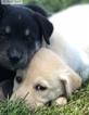 Labrador Retriever-Siberian Husky Mix Puppy For Sale in WOODFORD, VA, USA