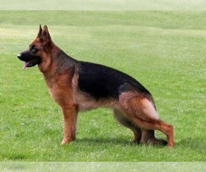 Mother of the German Shepherd Dog puppies born on 04/03/2019