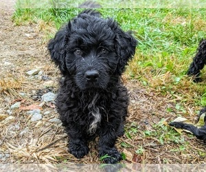 Newfoundland-Poodle (Miniature) Mix Puppy for Sale in SYRACUSE, Indiana USA