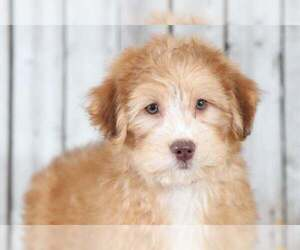 Aussie-Poo Dog for Adoption in MOUNT VERNON, Ohio USA