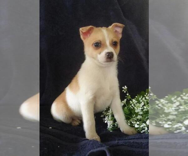 Medium Photo #2 Jack-A-Ranian Puppy For Sale in FREDERICKSBG, OH, USA
