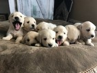 Golden Retriever Puppy For Sale in GRAND TERRACE, California,