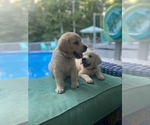 Small Photo #2 Golden Retriever Puppy For Sale in PIEDMONT, SC, USA