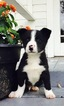 Border Collie Puppy For Sale in TOLEDO, WA,
