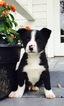 Border Collie Puppy For Sale in TOLEDO, WA, USA