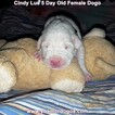 Small Photo #20 Dogo Argentino Puppy For Sale in PINEVILLE, MO, USA