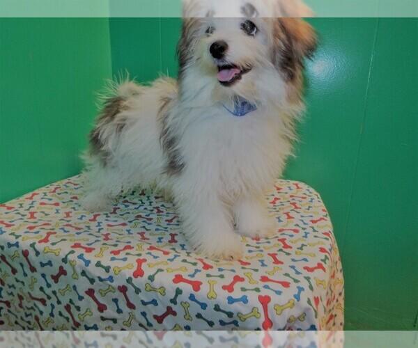 Medium Photo #3 Maltipom Puppy For Sale in PATERSON, NJ, USA