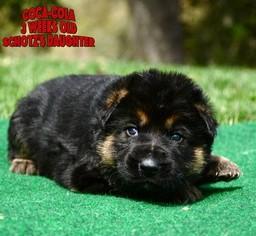 German Shepherd Dog Puppy For Sale in MURRIETA, CA