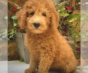 Goldendoodle Puppy for sale in CHATHAM, PA, USA