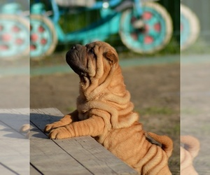 Chinese Shar-Pei Puppy for sale in Novo Milosevo, Vojvodina, Serbia