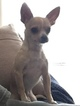 Chihuahua Puppy For Sale in VERMILION, OH, USA