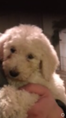 Goldendoodle Puppy For Sale in SAN ANTONIO, TX, USA
