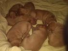 Pure bred Vizsla puppies