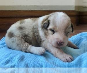Australian Shepherd Puppy for Sale in ROBERTS, Illinois USA