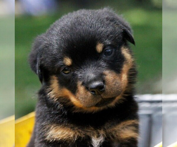 View Ad: Rottweiler Puppy for Sale near In Spain