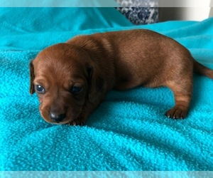 Dachshund Puppy for Sale in KYLE, Texas USA