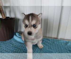 Siberian Husky Puppy for sale in GR, MI, USA