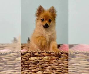 Pomeranian Puppy for sale in CINCINNATI, OH, USA