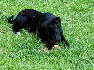 Labrador Retriever-Unknown Mix Dog For Adoption in BRADLEY, SC, USA