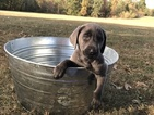 AKC Registrered Lab Puppies
