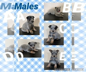 Australian Cattle Dog Puppy for sale in TOPPENISH, WA, USA