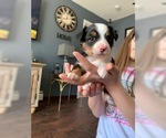 Australian Shepherd Puppy For Sale in DRACUT, MA, USA