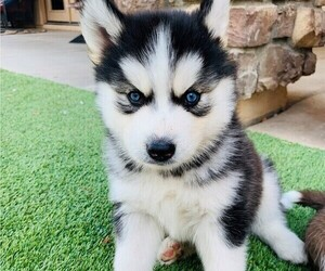 Siberian Husky Puppy for sale in MESA, AZ, USA