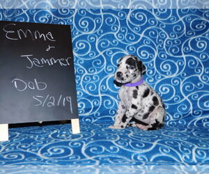 Great Dane Puppy for sale in LAKE CITY, FL, USA