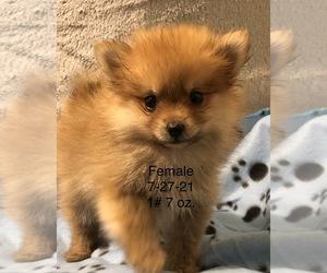 Pomeranian Dog for Adoption in SILEX, Missouri USA