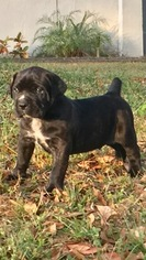 Mastiff Puppy For Sale in DAVENPORT, FL
