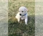 Goberian-Golden Labrador Mix Puppy For Sale in ROSSVILLE, IN, USA