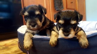 Schnauzer (Miniature) Puppy For Sale in STEDMAN, NC, USA