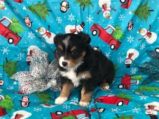 Miniature Australian Shepherd Puppy For Sale in WYTHEVILLE, VA, USA