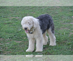 Father of the Sheepadoodle puppies born on 09/26/2020