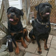Rottweiler Puppy For Sale in MASSILLON, OH