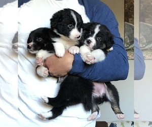 Border-Aussie Puppy for sale in HUNTINGTON, WV, USA