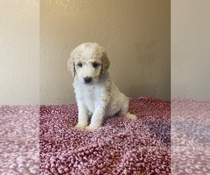 Saint Berdoodle Puppy for sale in SAUK CENTRE, MN, USA