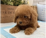 Small #6 Poodle (Toy)