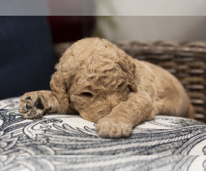 Goldendoodle Puppy for Sale in CITRUS HEIGHTS, California USA